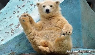 تعبیر دیدن خواب خرس