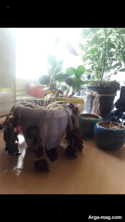 کاشت شبدر زینتی