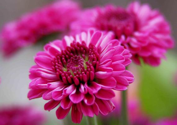 کاشت گل داوودی