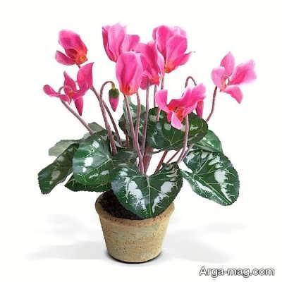 روش قلمه زدن سیکلامن و نکاتی برای پرورش این گیاه