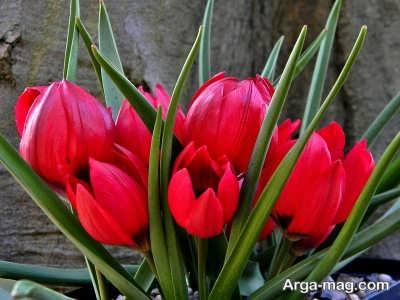 عکس زیبای گل لاله