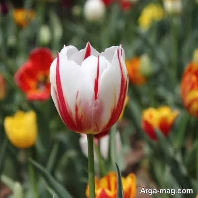 زیباترین عکس گل لاله