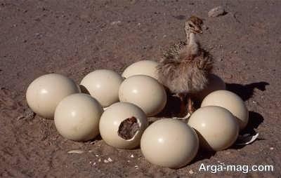 تخم گذاری شترمرغ
