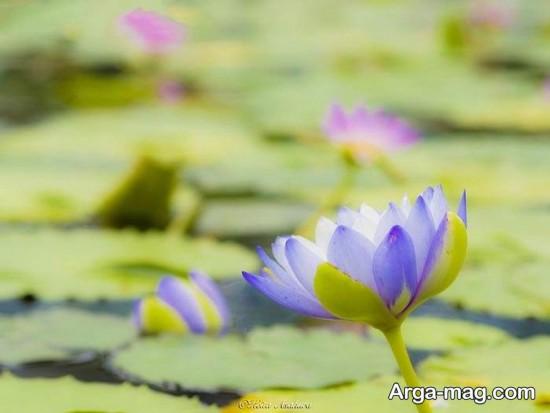 nilofar abi 1 - تصاویری زیبا از نیلوفرهای آبی