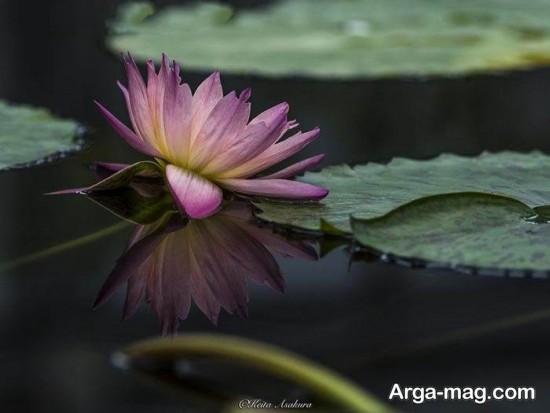 nilofar abi 11 - تصاویری زیبا از نیلوفرهای آبی