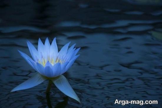 nilofar abi 2 - تصاویری زیبا از نیلوفرهای آبی