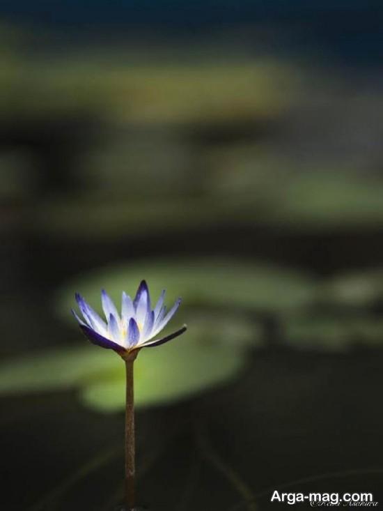 nilofar abi 3 - تصاویری زیبا از نیلوفرهای آبی