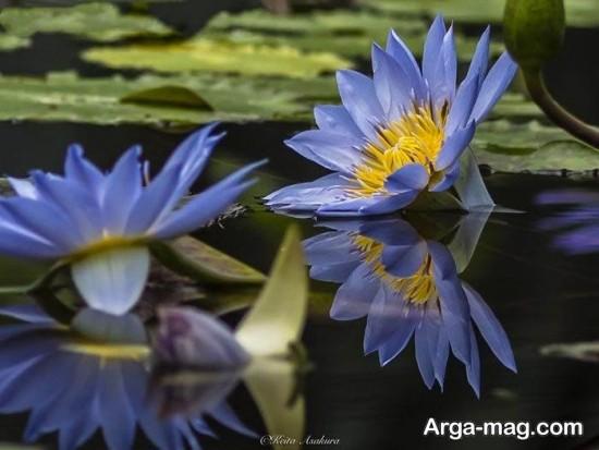 nilofar abi 5 - تصاویری زیبا از نیلوفرهای آبی