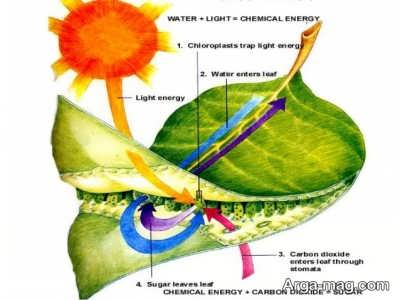 کلروفیل گیاه