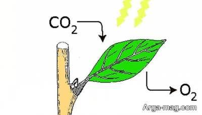 عمل گیاه در فرآیند فتوسنتز