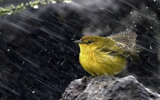 عکس پروفایل پرنده زرد رنگ