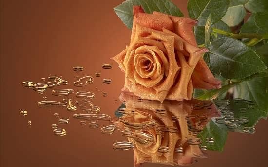 عگس پروفایل گل رز طلایی
