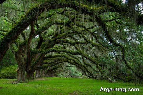 درختان ریشه دار اروپایی