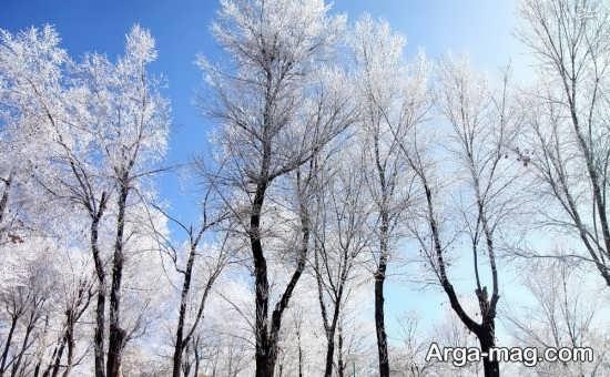 درختان قد بلند برفی