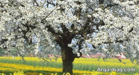 درختان بهاری زیبا
