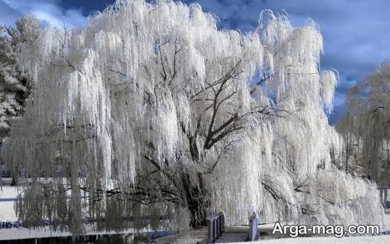 درختان پوشیده از برف