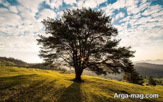 درخت تک و کهنسال