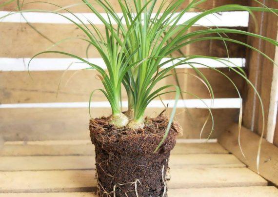 گیاه آپارتمانی لیندا