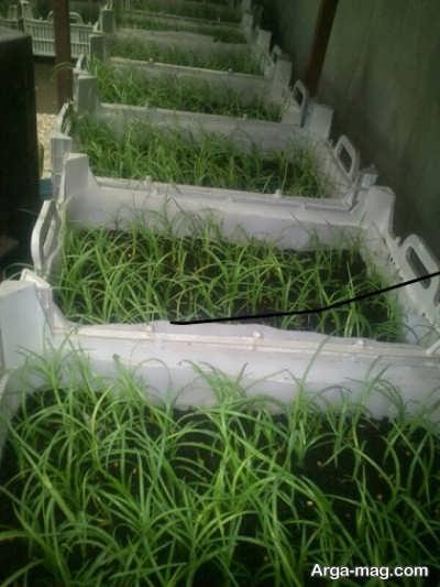 کاشت لیندا با بذر