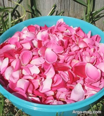 جدا کردن گلبرگ گل محمدی