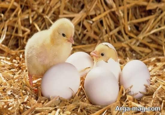 جوجه تازه از تخم بیرون آمده