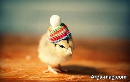 جوجه قشنگ با کلاه