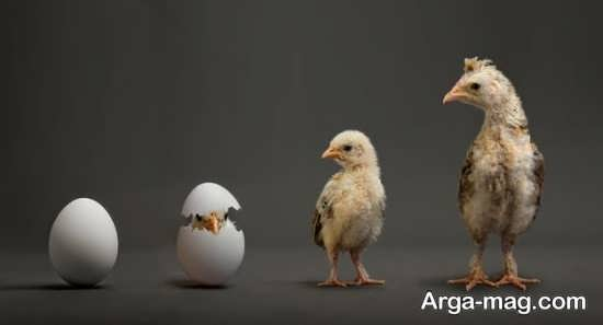 عکس تکاملی جوجه