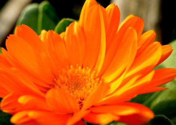 نگه داری از گل همیشه بهار