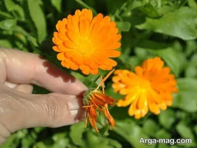 کاشت گل همیشه بهار