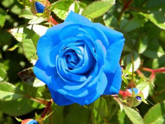 پروفایل گل رز زیبا