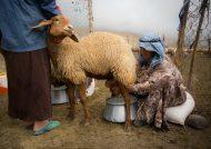خواص شیر گوسفند