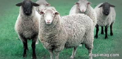 تفاوت شیر گوسفند با شیر گاو