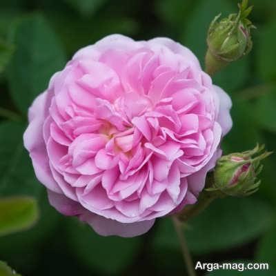 خواص دمنوش گل محمدی
