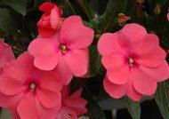 گلدهی گل حنا