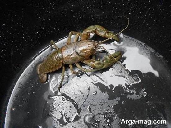 خرچنگ در سطل