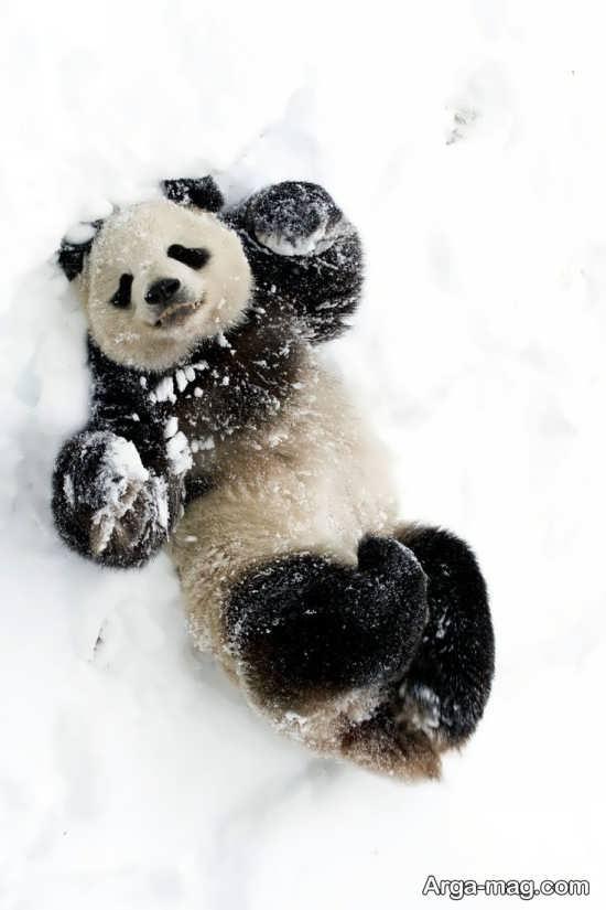 پاندا در برف