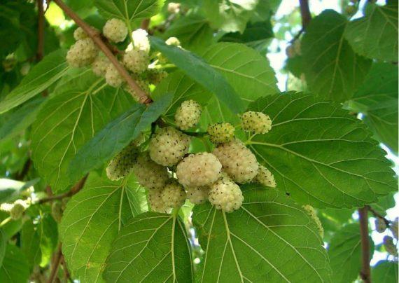 درخت توت و کاشت آن