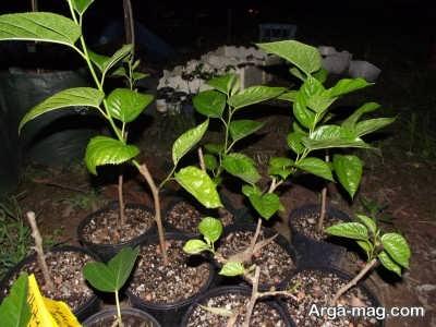 چگونگی پرورش درخت توت