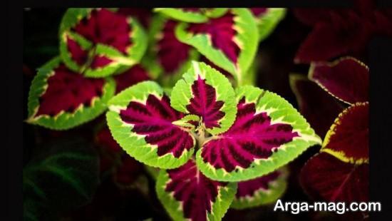 گل حسن یوسف