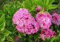 عکس گل های سمی بسیار زیبا اما کشنده!