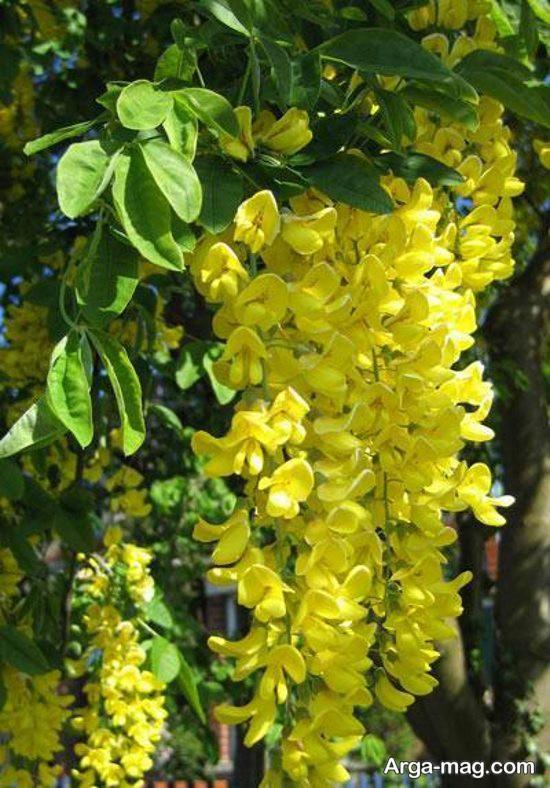 عکس گل های سمی