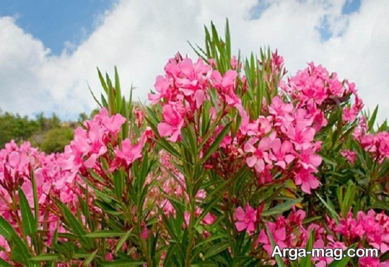 گل های صورتی و بسیار زیبا