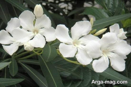 گل های سمی و خطرناک