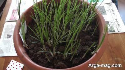 کاشت گیاه زعفران در گلدان