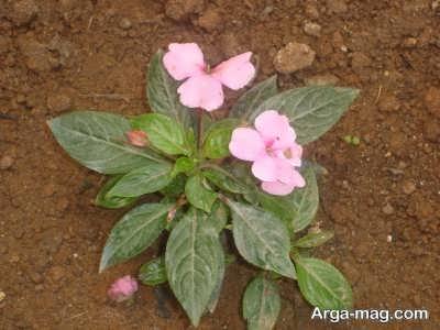 خاک مناسب برای کاشت گل حنا