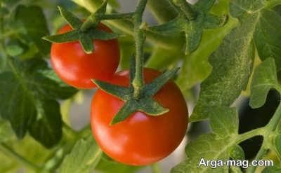 گوجه گیلاسی و کاشت آن