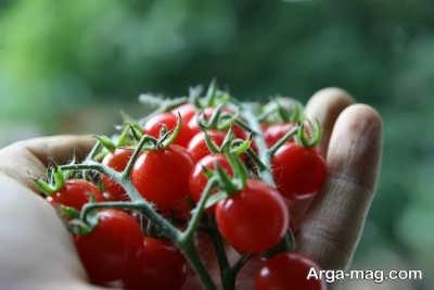 پرورش گوجه گیلاسی