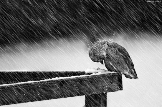 عکس پرنده زیر باران