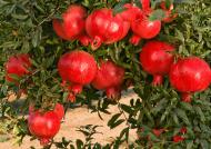 تکثیر انار در کدام فصل ها مناسب است؟