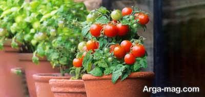 چگونه گوجه فرنگی بکاریم